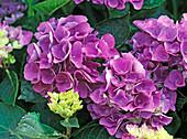 Hydrangea macrophylla 'Amsterdam' (Hortensie)
