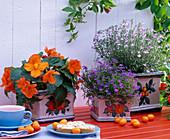 Lobelia (Männertreu), Begonia tuberhybrida (Knollenbegonie)