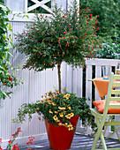 Punica granatum 'Nana' (Zwerggranatapfel) unterpflanzt