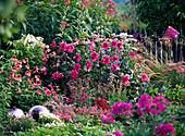 Rosa-pinkes Beet mit Stauden und Dahlien