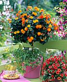 Lantana (Wandelröschen), Stamm unterpflanzt mit Hedera (Efeu)