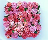 Freisteller aus Rosa (rosa Rosenblüten)