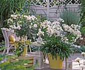weiße Terrasse: Agapanthus (Afrikanische Schmucklilie) , Nerium