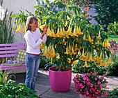 Frau schnuppert an Brugmansia syn. Datura (Engelstrompete) mit gelben Blüten