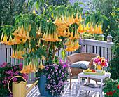 Balkon mit blühender gelber Datura (Engelstrompete)