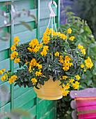 Cassia corymbosa (Gewürzrinde) in gelber Ampel