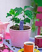 Coffea arabica (Kaffee), Jungpflanzen in rosa Übertopf