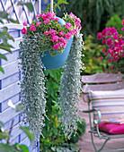 Pelargonium 'Melosilver' (Buntblattgeranie)