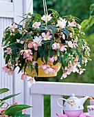 Begonia Belleconia 'Apricot Blush' (Hängebegonie)