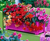 Pink - rot bepflanzter Kasten für den Schattenbalkon
