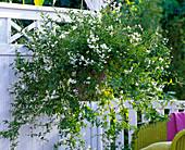 Solanum jasminoides (Jasmin - Nachtschatten) im Ampeltopf