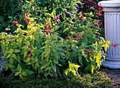 Salvia rutilans (Ananassalbei) blühend im Beet