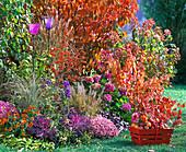 Herbstbeet Gräsern, Pyracantha (Feuerdorn), Brassica (Zierkohl)
