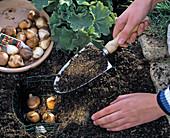 Tulpenzwiebeln in selbstgemachten Drahtkorb pflanzen: 4/4