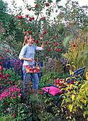 Herbst Äpfel pflücken Frau Beet