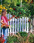 Kleines Mädchen pflückt Malus (Äpfel)