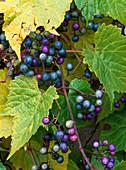 Ampelopsis (Scheinrebe) mit Beeren und Herbstlaub