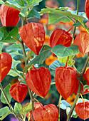 Physalis franchetii (Lampionblumen)