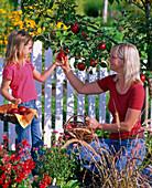 Mutter und Tochter pflücken Malus (Äpfel)