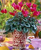 Cyclamen persicum (Alpenveilchen, pink) in Topf mit floralem Muster