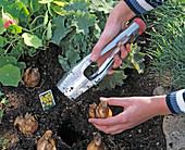 Zwiebeln von Narcissus (Narzissen) mit Zwiebelpflanzer einpflanzen