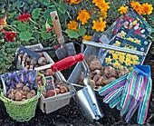 Stillleben mit Blumenzwiebeln: Crocus (Krokus), Tulipa (Tulpen), Narcissus