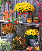 Chrysanthemum Bellania 'Bennetti', Yahou 'Golden'