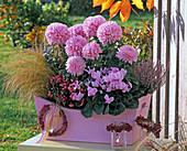 Chrysanthemum grandiflorum (großblumige Chrysantheme)