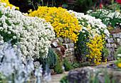 Iberis (Schleifenblume), Alyssum montanum 'Berggold'