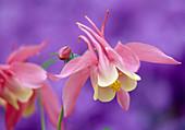 Aquilegia caerulea 'Rose Queen' (Akelei, zweifarbig), Blüten vor lila Hintergrund