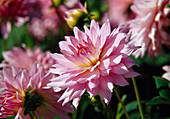 Dahlia 'Alexander von Humboldt' (Dekorative Dahlie, Schmuckdahlie)
