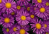 Blüten von Aster alpinus 'Dunkle Schöne' (Alpen - Aster)
