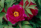 Paeonia suffruticosa 'Phoenix of China' (Strauchpfingstrose)