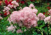 Blüten von Thalictrum aquilegifolium