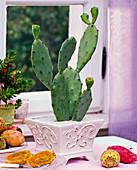 Opuntia (Feigenkaktus) in viereckigem Topf, Kaktusfeigen