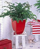 Pflanze im Bad : Didymochlaena (Erdfarn) im roten Übertopf