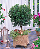 Myrtus communis (Brautmyrte)
