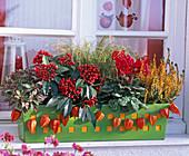 Skimmia reevesiana (Fruchtskimmie), Cyclamen