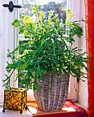 Pteris cretica 'Roeweri' (Kretischer Saumfarn) in Korb auf der Fensterbank