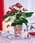 Anthurium andreanum (Flamingoblume) in gemustertem Übertopf auf dem Tisch