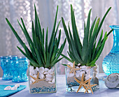 Aloe vera (Echte Aloe) in Gläsern mit Sand, blauen Steinchen, Muscheln