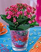 Kalanchoe Calandiva 'Pink' (Flammendes Käthchen) in Glas mit bunten Steinchen