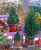 Buxus (Buchs), Thuja (Lebensbaum), Picea glauca 'Conica'