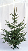 Abies concolor (Colorado - Tanne) in Weihnachtsbaumständer als Freisteller