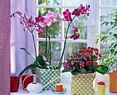 Phalaenopsis (Malayenblume), Kalanchoe blossfeldiana