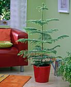 Araucaria (Zimmertanne) in rotem Topf auf dem Boden im Wohnzimmer, rotes Sofa,