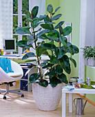 Ficus elastica (Gummibaum) in geflochtenem Übertopf im Büro, Bürostuhl