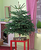 Abies nordmanniana (Nordmanntanne) als Weihnachtsbaum auf rotem Hocker