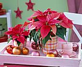 Euphorbia pulcherrima 'Freedom Pink'(Weihnachtssterne) in karierten Übertöpfen