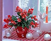 Schlumbergera (Weihnachtskaktus) in Übertopf mit Elchmotiven am Fenster